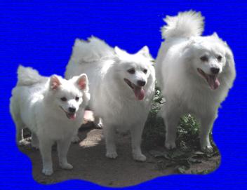 Белые немецкие шпицы:большой-гроссшпиц,средний-миттельшпиц,малый-кляйншпиц
